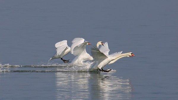 Не спішіть рятувати лебедів на кризі